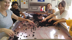 Grape destemming at winery