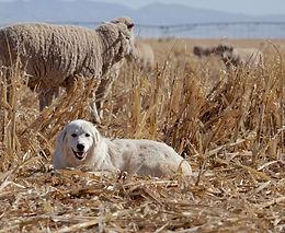 Shutterstock_LGD in straw field local fa
