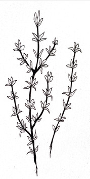 THYME SKETCH