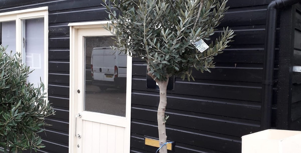XL Olive Tree