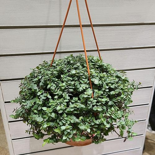 """Turtle Vine 6"""" Hanging Basket"""