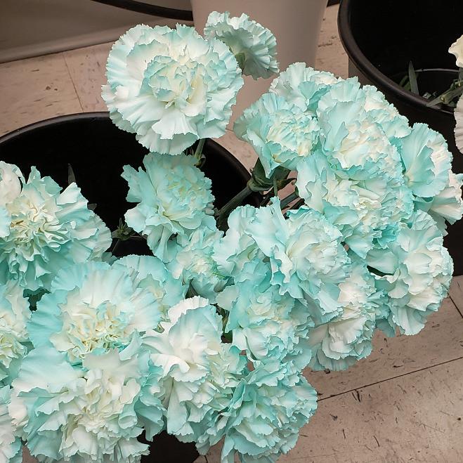 Light blue carnations