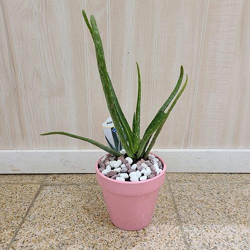 Aloe Vera in Upgrade