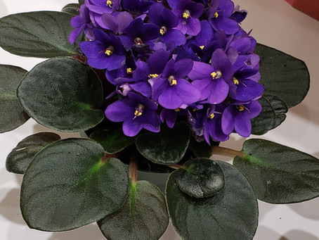 This is why your African Violets keep dying