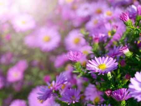 Flower Profile: Aster
