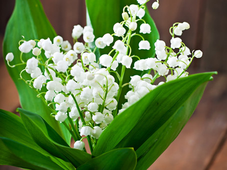Flower Profile: Lily of the Valley