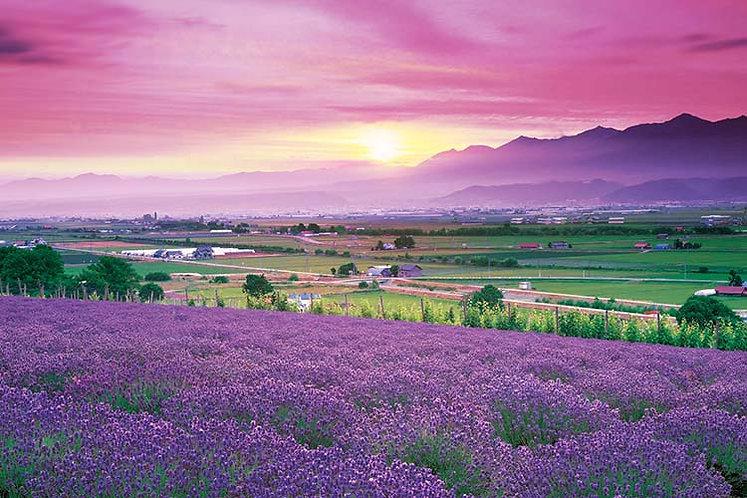 日本風景 - 富良野薰衣草 1000塊 (50×75cm)