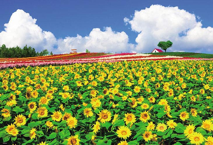 日本風景 - 在北海道盛開的向日葵 1000塊 (49×72cm)