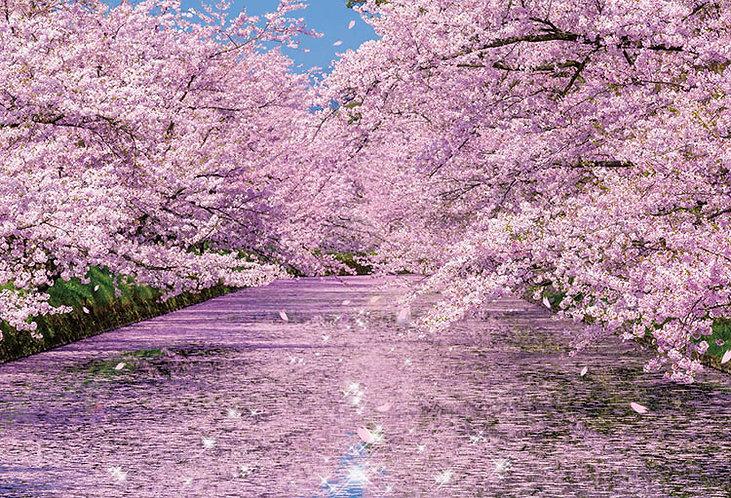 日本風景 - 弘前公園的櫻花 1000塊 (49×72cm)