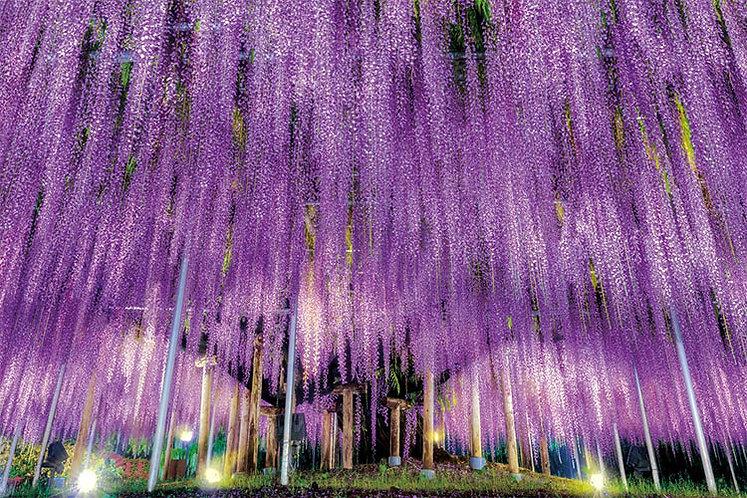 日本風景 - 紫藤花物語 1000塊 (50×75cm)