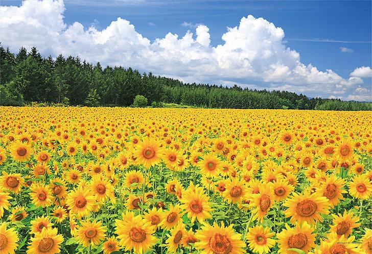 日本風景 - 美瑛的向日葵領域 300塊 (26×38cm)