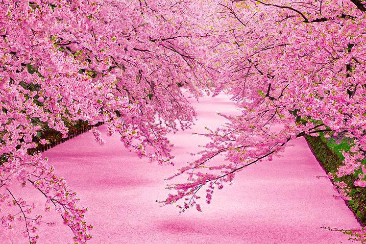 日本風景 - 弘前公園花筏 1000塊 (50×75cm)