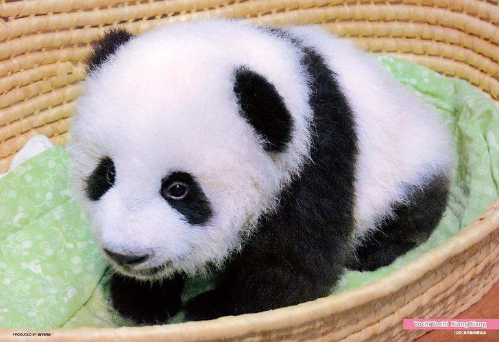 動物類 - 小熊貓香香 300塊 (26×38cm)