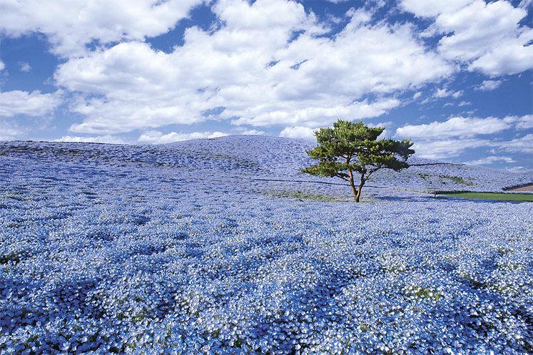 日本風景 - 茨城的紫色薰衣草 1000塊 (50×75cm)