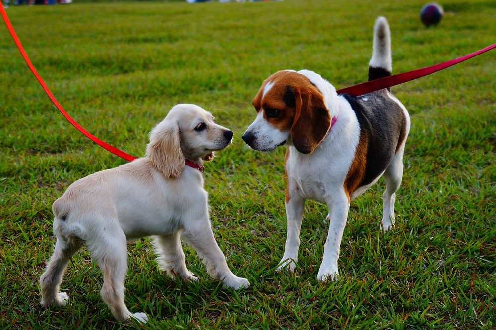 Two dogs sniffing each other while out on a dog walk
