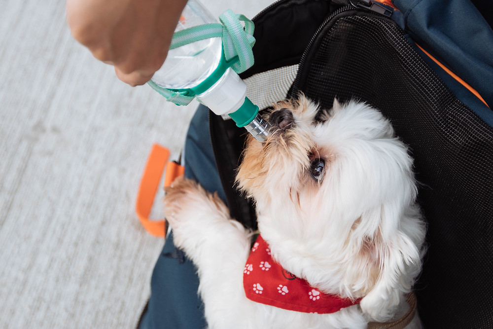 dog drinking from water bottle