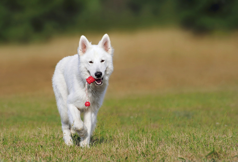 White dog carrying a rope toy