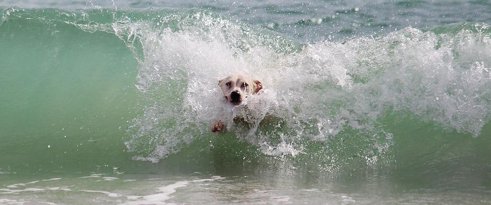 Dog surfing an ocean wave