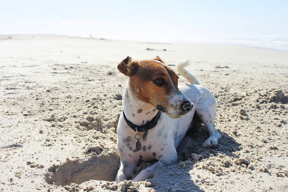 Dog on beach digging in sand
