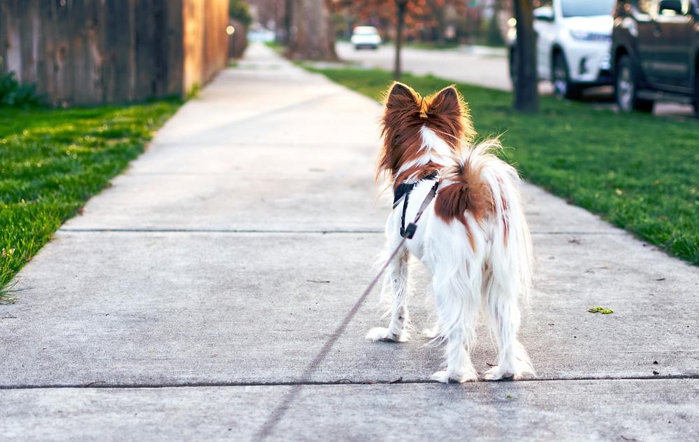Papillon dog on a walk