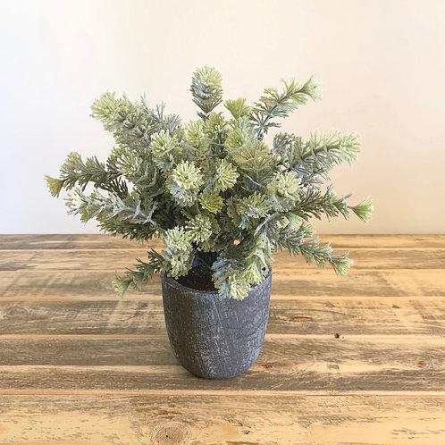 Fern succulent in grey pot