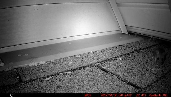 Mice active entry point on roof