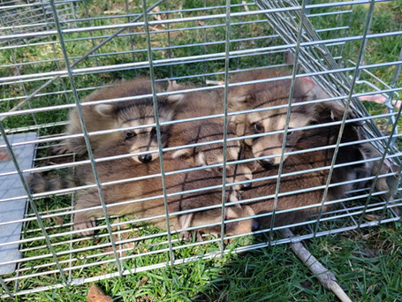 6 raccoon pups