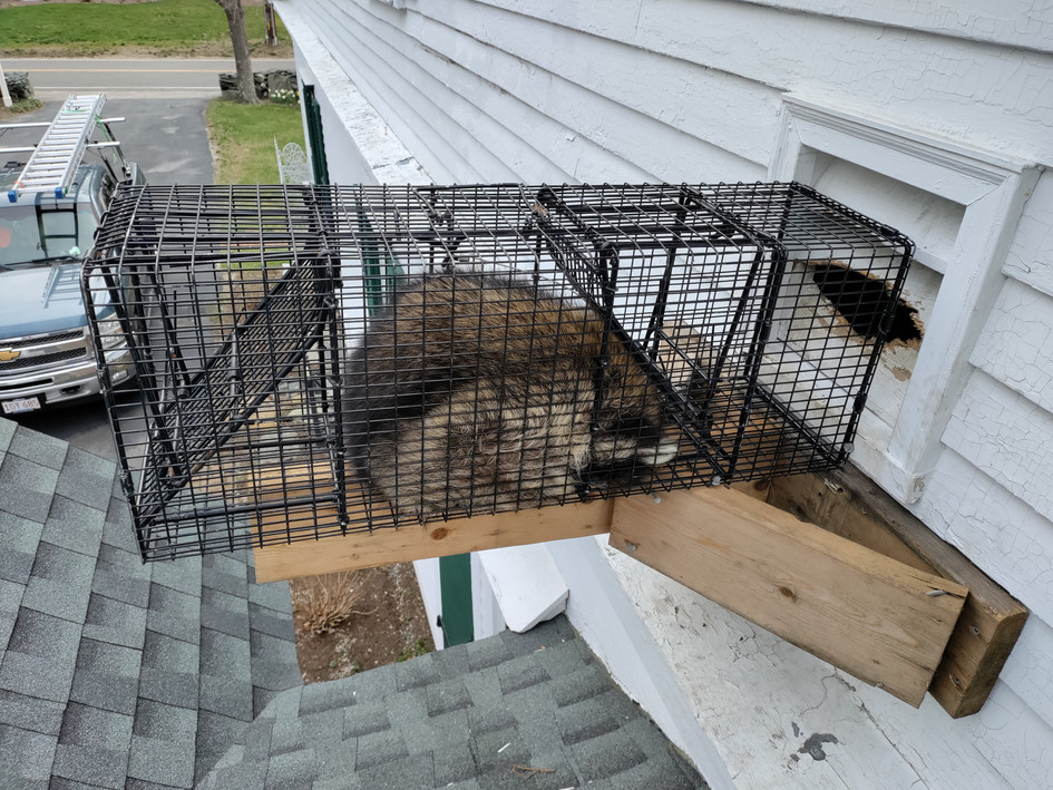 Raccoon trapping
