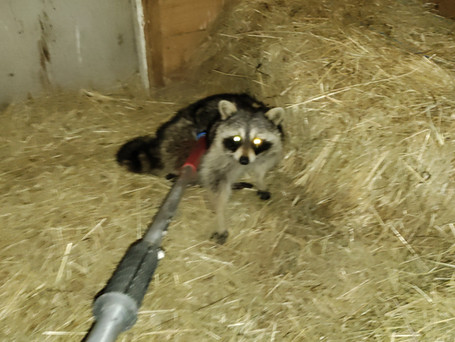 Raccoon removal, horse barn