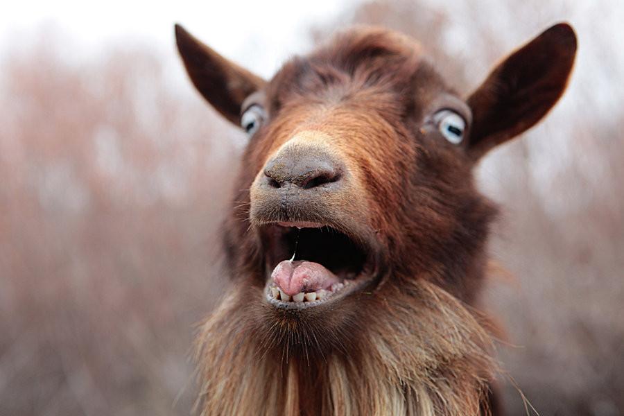 goat brothel