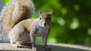 A Squirrel in Seattle is Taking Cheetos from Unsuspecting People