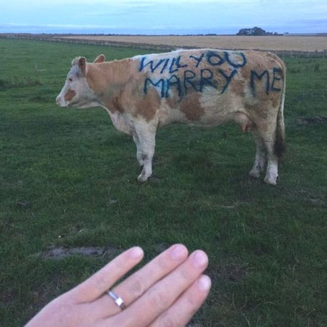 """Who Says Chivalry is Dead? Guy Writes """"WILL YOU MARRY ME"""" on a Cow"""