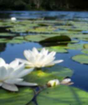 white lotus flowers in pond.jpg