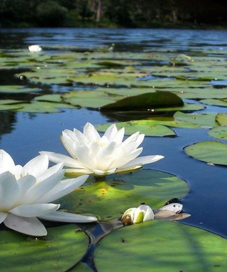 white lotus flowers in pond.jpg