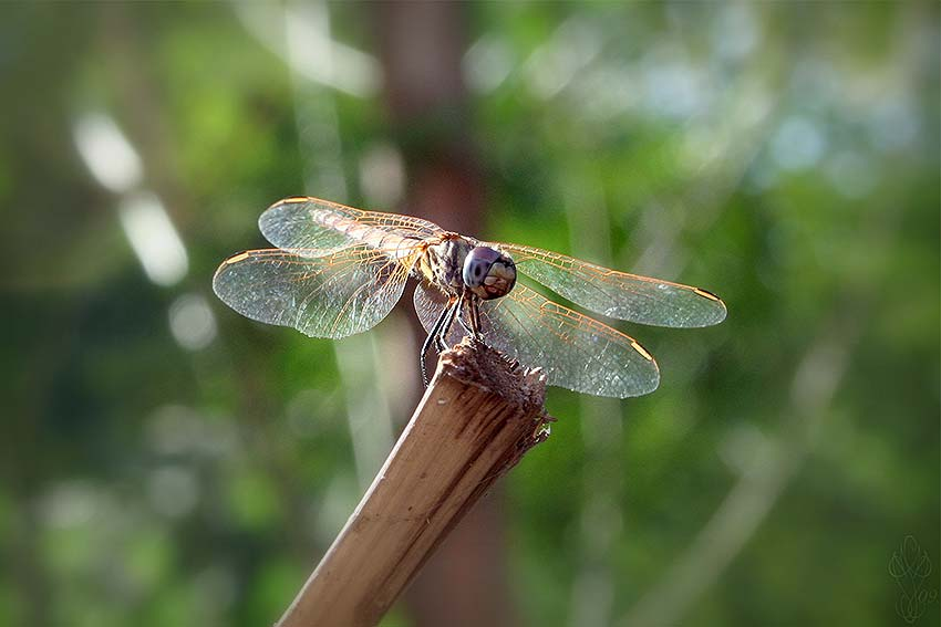 « DRAGONFLY »