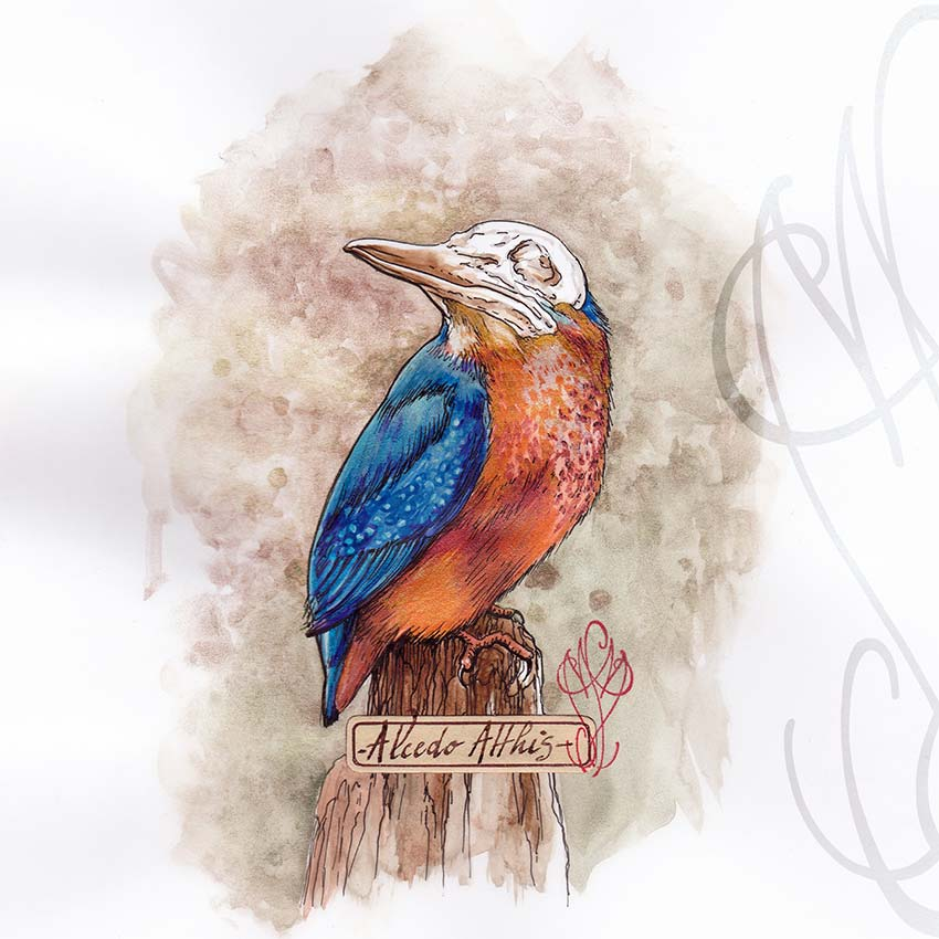 """Alcedo Atthis"" (Kingfisher - Martin-pêcheur)"
