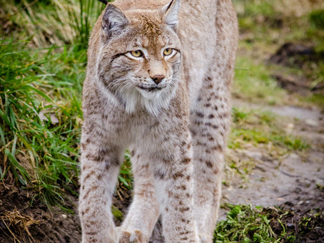 Rewilding in the UK: A Case Study of the Lynx