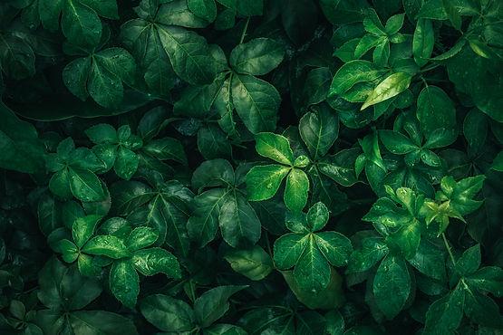 foliage-of-tropical-leaf-in-dark-green-w