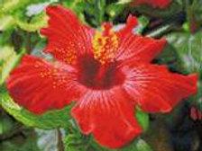 Diamond Dotz SQUARES -Hibiscus en fleurs