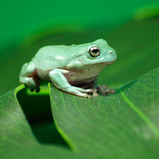 Tuesday 26th of Jan pm White tree frog.j