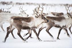 Reinsdyr-pa-Finnmarksvidda-072009-99-0169_edited