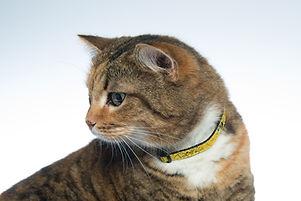 FancyCat Yellow (1).jpg