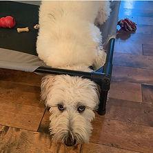 Wheaten Terrier Pack leader help