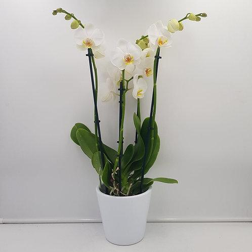 Orchidée blanche + cache-pot