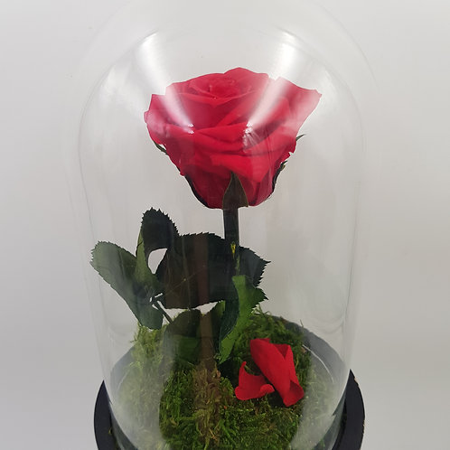 Rose rouge stabilisée sous cloche