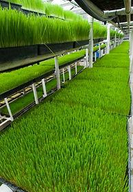 wheatgrass.JPG