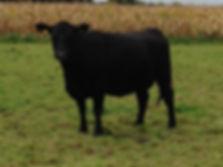 Vache de race Angus