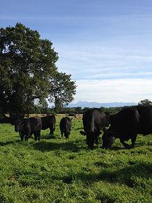 Elevage de race Angus dans les Pyrénées Atlantiques