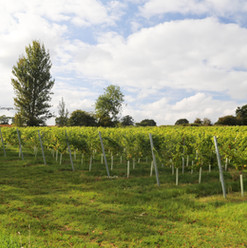 vineyards england