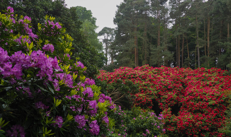 Rhododendrons of Sheringham Park
